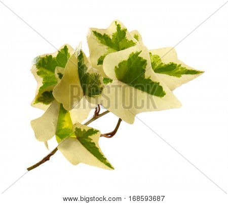 Ivy branch with green leaves isolated on white