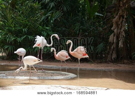 The picturesque bird in the South American zoo of exotic tropical birds. Magnificent Andean flamingos