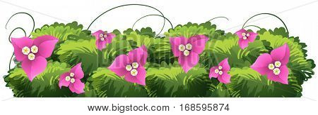 Bougainvillea flowers in pink color illustration