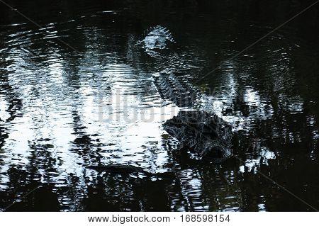 Black Alligator Hidden In The River Yacuma