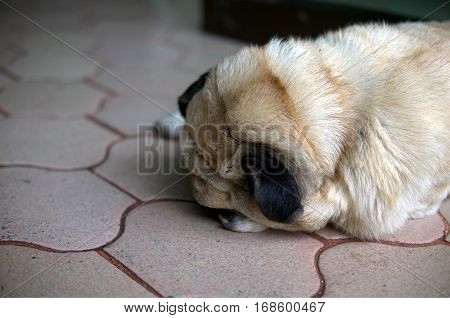 Lonely Pug Dog Sleeping on Brick floor with face down