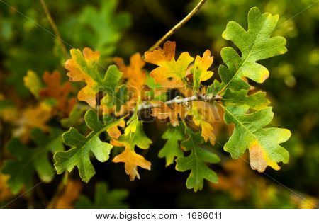 Fall Leaves. Valley Oak Quercus lobata