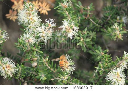 australian wild flowers in the fields and bees