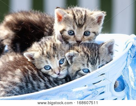 Kittens with Blue Eyes Lying in a Basket Outdoors
