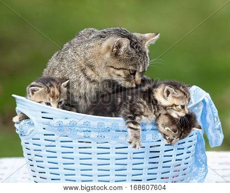 Cat and her Kittens Lying in a Basket Outdoors