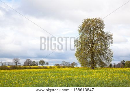 Tree with yellow Canola oilseed flower Field
