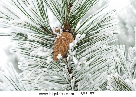 The snow has covered branches with strobile