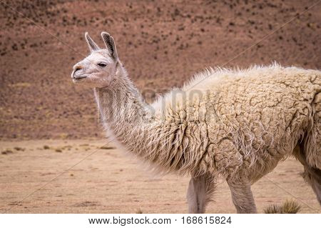 Alpaca in Altiplano. Lamas and alpacas are very popular in Bolivia and Peru for their wool and meat
