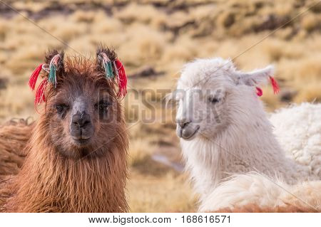 Portrait of alpacas with colorful decoration in Altiplano. Lamas and alpacas are very popular in Bolivia and Peru for their wool and meat