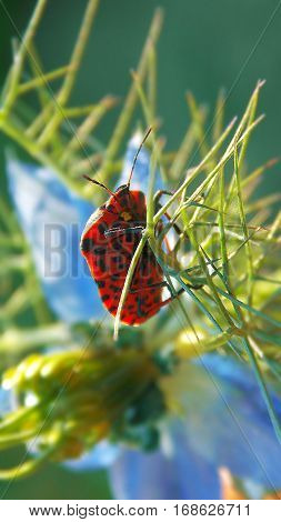small shield bug on the violet flower