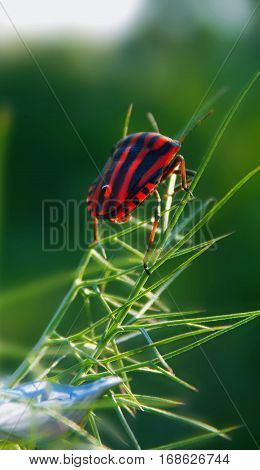 shield bug on the dill flower in nature