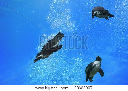 Three penguins swimming under water in the ocean.