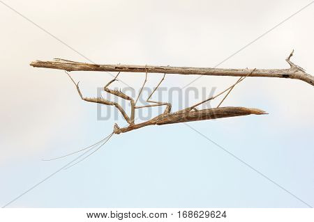 Closeup of the nature of Israel - small mantis on a branch