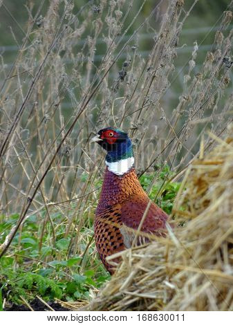 Adult male pheasant as seen during winter