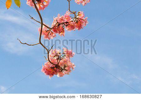 Pink Trumpet Flower