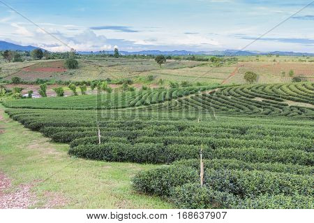 Green tea plantation over high hill with blue skyline background