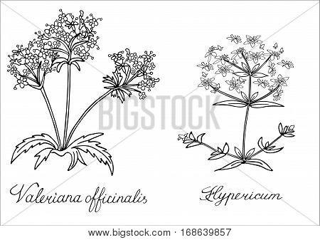 Valerian Valeriana officinalis St. Johns wort Hypericum Hand drawn sketched vector illustration. Doodle graphic