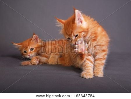 Two Red Solid Maine Coon Kitten. One Of Them Is Biting The Clawing On The Paw On Grey Background. Cl