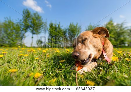 Dog laying outside in the dandelions and is chewing on bone