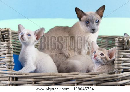 Mother cat with Little pure breed modern Siamese kitten nest sitting in basket