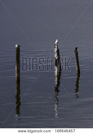 Artistic photo of birds early morning sitting on poles in the lake. Romance. Seagulls relaxing on a poles in the lake. Nice reflections in a water