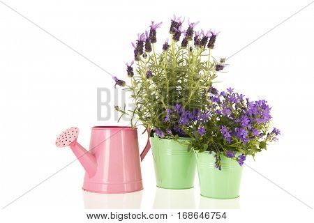Purple Campanula and Lavandula  in pink flower pot isolated over white background
