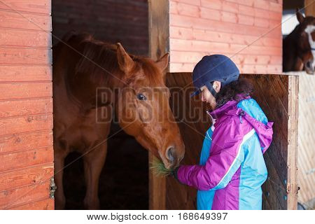 Horse is eating a coniferous branch of the rider's hands in stable