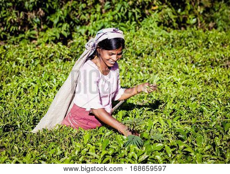 MASKELIYA, SRI LANKA - JANUARY 5 : Female tea picker in tea plantation in Maskeliya, January 5, 2015. Directly and indirectly, over one million Sri Lankans are employed in the tea industry.
