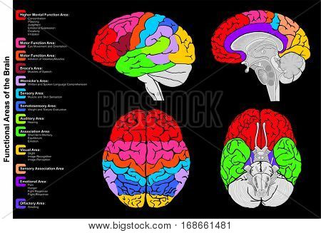 Human Brain Functional infographic including all areas and its functions structure diagram  lobes lateral sagittal superior inferior view frontal anatomical position anatomy science education