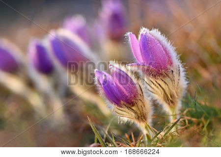 Spring flowers. Beautifully blossoming pasque flower and sun with a natural colored background. (Pulsatilla grandis)