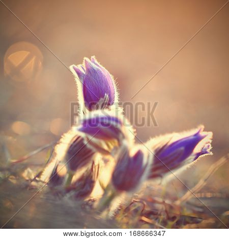 Springtime season. Beautiful purple flowers blooming in a sunny day. With a natural colored background of the meadow. (Pasque flower-Pulsatilla grandis)