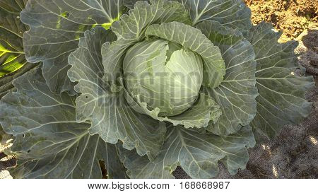 Close-up of a cabbage growing on the ground