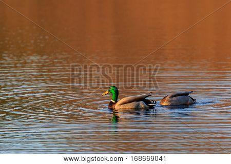 Pair of Mallard (Anas platyrbynchos) ducks feeding in a Wisconsin lake.