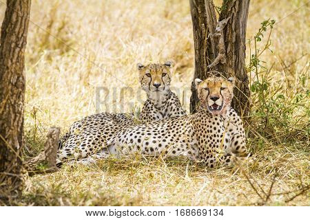 Two african cheetah looking for enemies after meal at the Savannah in Serengeti, Tanzania.