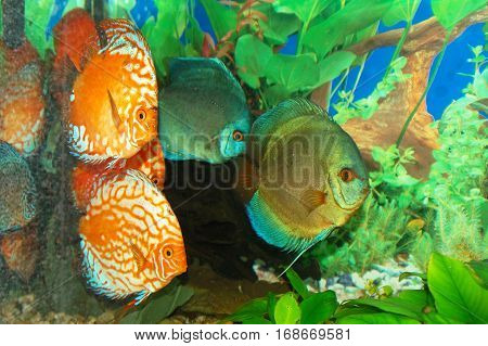 Orange Discus or 'Symphysodan Discus' photographed in an aquarium.