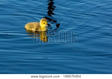 Single baby Canada goose (branta canadensis) swimming in a lake.