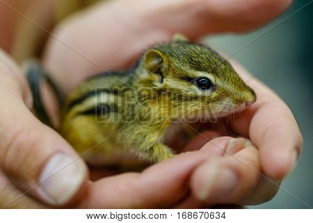 Baby Eastern Chipmunk (tamias striatus) in the hands of the caregiver.
