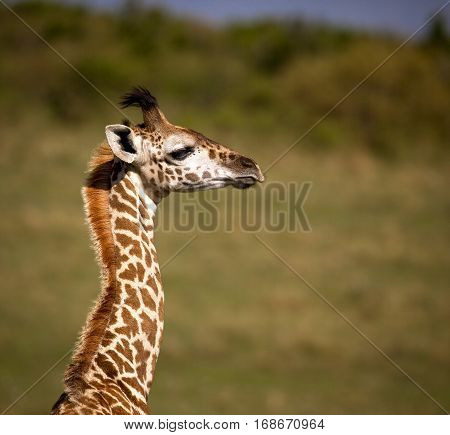 A baby giraffe looks right with Masai Mara National Park vista in background
