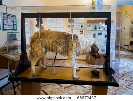 Saint-Petersburg, Russia - February 13 2016: Stuffed dogs Pavlov's experimental Museum of Hygiene in St. Petersburg