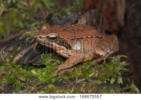 Female of Italian agile frog (Rana latastei) full of eggs, reaching the breeding site, Italy