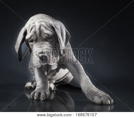 Purebred blue Great Dane puppy leaning on a dark background
