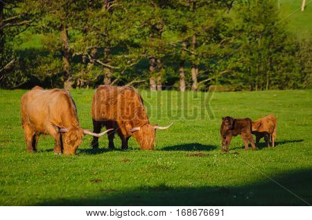 Scotland highland hairy red cows with calfs grazing at the green summer meadow, agricultural livestock organic food concept