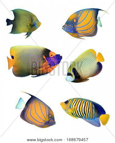 Angelfish of Indian and Pacific Oceans. Tropical fish collection. Koran, Ringed, Blue-cheeked, Emperor and Regal Angelfish. Reef fish isolated on white background.