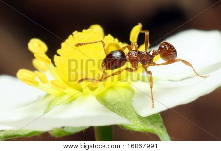 Red Ant on The Strawberry Flower - extremely close up