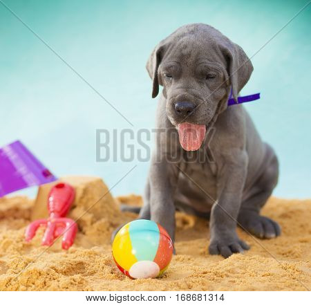 Great Dane puppy that is a month old on the sand with its tongue out