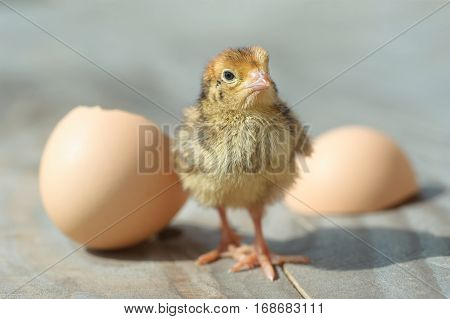 Baby chicks just hatch from egg. newborn yellow chick