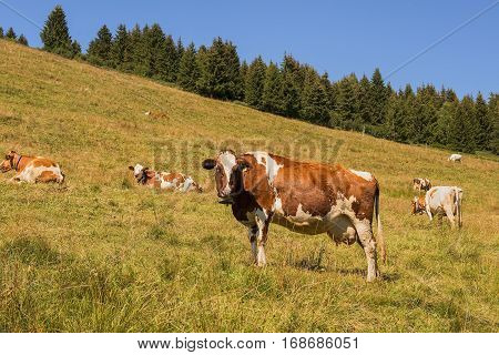 beautiful idyllic alpine landscape with cows, Alps mountains and countryside in early autumn, Switzerland