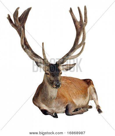 Deer - Cervus elaphus- isolated on white background