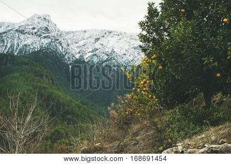 Orange trees with ripe oranges in mountain garden in Dim Cay district of Alanya on gloomy day with peaks covered with snow at background, Antalya province, Mediterranean Turkey