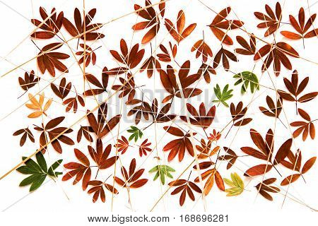 Oil Paint Dry Fall Leaf Of Kuril Tea Isolated On White
